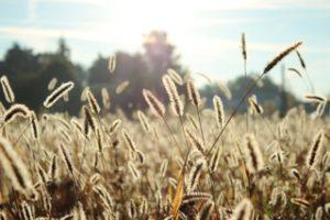 The Shepherd's Fool Wheat grass in the sun