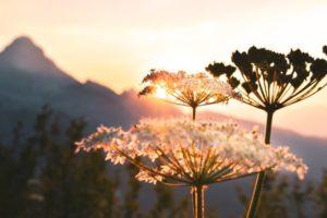 The Shepherd's Fool Queen Anne's Lace flowers in the sun.