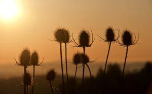 The Shepherd's Fool Wildflower Seed Pods in the sun