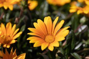 The Shepherd's Fool Calendula flowers in the sun