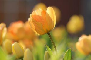 The Shepherd's Fool Tulips in the sun