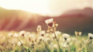 The Shepherd's Fool Wild flowers in the sun